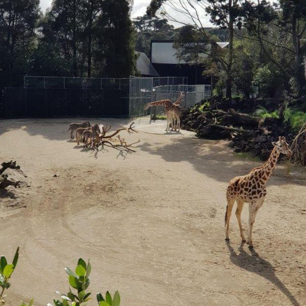 Kelston-Primary-Zoo-Trip-2019 (90).jpg